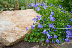 Blue Campanula rock plant Stock Photos