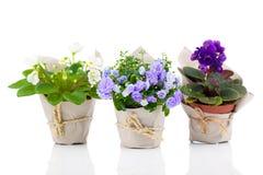 Blue Campanula terry, blue and white Saintpaulias flowers Stock Photos