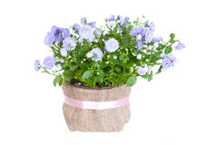 Blue Campanula terry Royalty Free Stock Photos