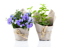 Blue Campanula terry flowers in paper packaging Royalty Free Stock Photos