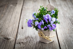 Blue Campanula terry flowers in paper packaging Stock Image