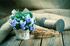 Blue Campanula terry flowers Royalty Free Stock Image