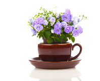 Blue Campanula terry flowers in teacup. On white background royalty free stock images
