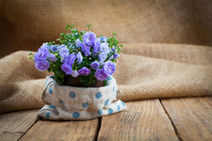 Blue Campanula terry plant Stock Images