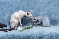Blue Canadian Sphynx cat kitten and adult Royalty Free Stock Photography