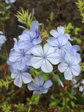 Blue Canarian flower. A blue flower growing on Canarias Islands. It`s a really unusual for Canarian flora stock photography