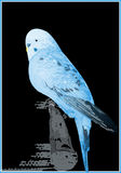 Blue canary ial. A blue canary with black background Royalty Free Stock Image