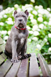 Blue cane corso puppy on a bench Stock Photo