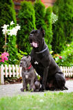 Blue cane corso puppy with a black dog Royalty Free Stock Image
