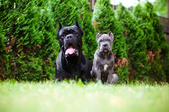 Blue cane corso puppy with a black dog Stock Image