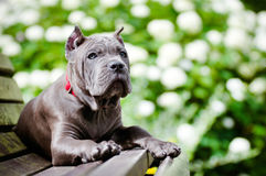 Blue cane corso puppy outdoors Royalty Free Stock Photos