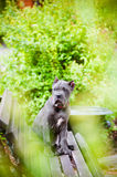 Blue cane corso puppy outdoors Stock Images
