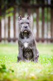 Blue cane corso puppy outdoors Stock Photos