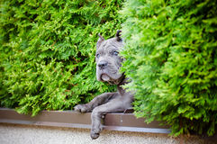 Blue cane corso puppy outdoors Royalty Free Stock Photography