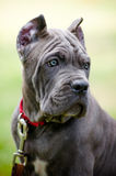 Blue cane corso puppy Royalty Free Stock Image