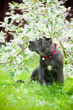 Blue cane corso puppy under the leaves Stock Photography