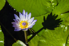 Blue cape water lily Stock Photos