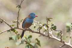 Blue-capped Cordon-bleu male sitting on a branch on a sunny day Stock Images