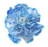 Blue carnation Royalty Free Stock Photo