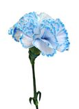 Blue carnation Stock Photos