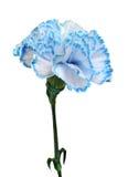 Blue carnation Stock Photos