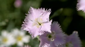 Blue carnation flower swaying in the wind. Clove flower of Chinese garden close up stock video