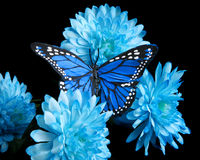Blue carnations and butterfly Stock Photo