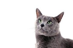 Blue cat Stock Photos