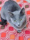 Blue Cat Adoption Photo Royalty Free Stock Photos