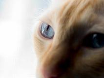 Blue cat eye Royalty Free Stock Photo