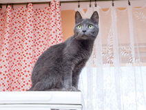 Blue cat in the kitchen Stock Photography
