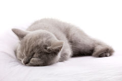 Blue cat sleeping Stock Image