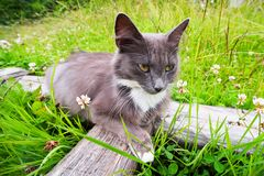 Blue cat with a white dot in the village. Blue cat with a white dot in the grass stock images
