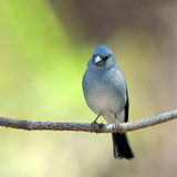 Blue Chaffinch (Fringilla teydea) Royalty Free Stock Photos