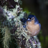 Blue chaffinch resting on a tree Royalty Free Stock Image