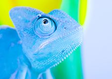 Blue Chameleon. Chameleons belong to one of the best known lizard families. They are famous for their ability to change their color, and also because of their Stock Photo