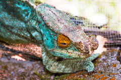Blue chameleon close up Royalty Free Stock Photography