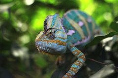Blue chameleon posing. Close up of a blue chameleon sitting on a branch in the forest Royalty Free Stock Images