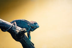 Blue chameleon on tree branch. Small green blue lizard chameleon sitting on tree branch on yellow background Stock Images