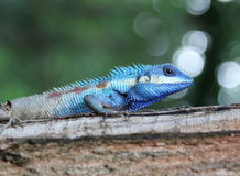 Blue chameleon. Wild animal at country of Thailand Royalty Free Stock Image