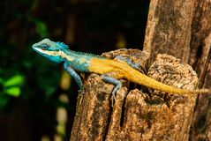 The blue chameleon. The blue yellow chameleon is stay on stump Royalty Free Stock Photo