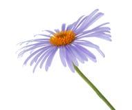 Blue chamomile flower Royalty Free Stock Image