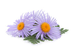 Blue chamomile flowers Stock Images