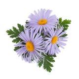 Blue chamomile flowers Stock Image