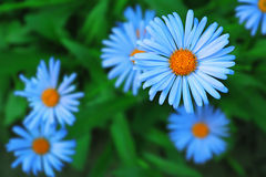 Blue chamomile. Some beautiful decorative chamomile flowers with a yellow disc and blue petals Stock Photography