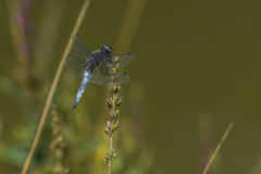 Blue chaser (Libellula fulva) Royalty Free Stock Images