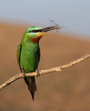 Blue-cheeked bee-eater Royalty Free Stock Images