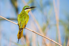Blue Cheeked Bee Eater in light South Africa Royalty Free Stock Photos