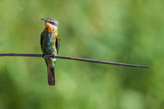 Blue Cheeked Bee Eater in light South Africa Royalty Free Stock Photography