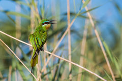 Blue Cheeked Bee Eater South Africa birds Stock Images